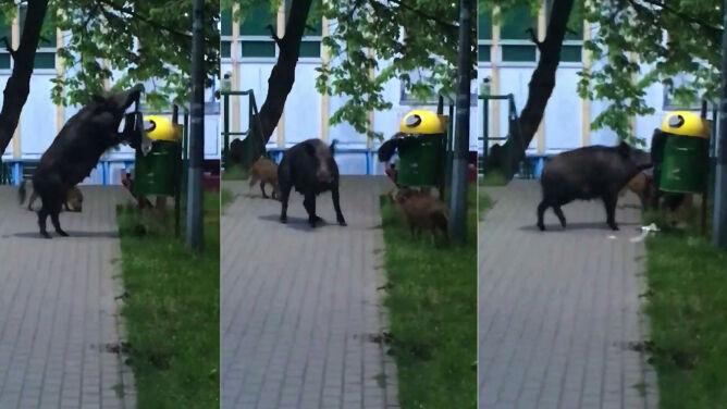 Sprytna locha w Sopocie. Walczyła ze śmietnikiem, próbowała wyjąć worek