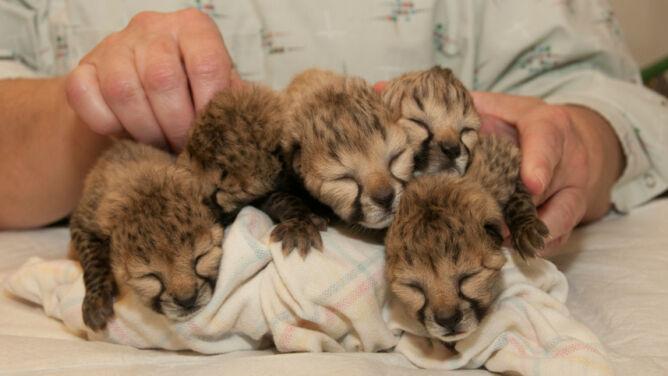 Malutkie gepardy przyszły na świat dzięki cesarskiemu cięciu