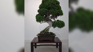 Skradziono drzewka bonsai. Ich wartość sięga niemal 120 tysięcy dolarów